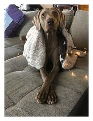 Album Chiens Clients Janvier-Avril 2018 (35) (Dalmatien-Golden-Braque) Tags: dalmatien goldenretriever braquedeweimar chien carcassonne elevage eleveur animaux dog breader