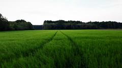 Búzaföldek útjai (Balogunyom közelében) (milankalman) Tags: field green countryside landscape road nature spring