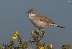 Whitethroat (Mick Erwin) Tags: whitethroat nikon afs 600mm f4e fl ed vr lens tc14e teleconverter iii d850 mick erwin stoke trent staffordshire wildlife nature