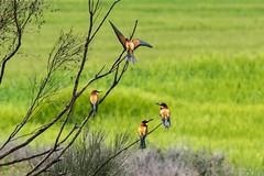 Au pays d'Aragon (PierreG_09) Tags: aragon espagne spain españa monegros huesca faune oiseau guêpier abejaruco meropsapiaster guêpierdeurope europeanbeeeater coraciiformes méropidés bienenfresser eu berbegal