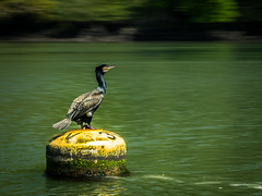 Cormorant on the River Fal (Dom Haughton) Tags: cormorant wild wildanimal wildlife river greenscene green cornwall kernow riverfal fal falmouth