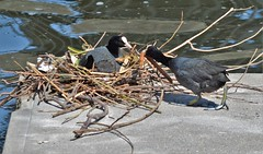 Nesting Coots (4) (howell.davies) Tags: coots coot nesting cardiff bay wales uk nest birds bird wildlife wildfowl water pontoon twigs branches techniquest docks dock nikon d3200 55300mm