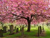 Cherry Blossom. (Flyingpast) Tags: blossom cherry pretty beautiful flower tree pink nature spring graveyard headstone cemetery dundee scotland uk grass shadow canopy stunning picture graves howff