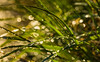 a bit of magic (auntneecey) Tags: water drops grass waterdrops shine sunshine morning 365the2018edition 3652018 day128365 08may18