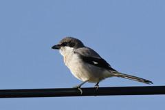 Iberian Grey Shrike (Chris B@rlow) Tags: laniusmeridionalis iberiangreyshrike southerngreyshrike shrike butcherbird alentejo portugal bird birds nature wildlife sky canon7dmarkii sigma150600sport