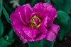 Flowers. (ost_jean) Tags: tulips tulpen flowers bloemen fleurs belgique belgica belgie belgium nikon d5300 tamron sp 90mm f28 di v ostjean floraliabrussels
