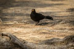 Hi folks !! (harakis picture) Tags: oiseau bird merle contactgroups