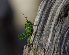 Garden Grasshopper (leendert3) Tags: leonmolenaar southafrica nature insects gardengrasshopper ngc npc coth5