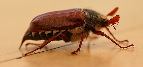 Maybug/Cockchafer - melolontha melolontha