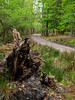 The Long and Winding Road (fstop186) Tags: road woods winding curved trees spring roadlesstravelled longandwindingroad woodland week1952 tree fallen rot decay