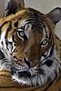 Tiger (nickym6274) Tags: hamertonzoo hamerton cambridgeshire uk zoo tiger eyes bengaltiger bengal