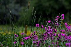 Flowers meadow (PinoyFri) Tags: bulaklak fleur bloem flor virág fiore blomma flowersmeadow blumenwiese wiese