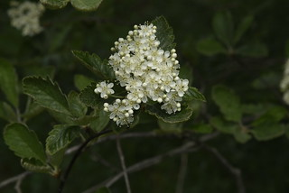Blüte der Schwedischen Mehlbeere (Sorbus intermedia) an den Siebenbergen; Norderstapel, Stapelholm (72)