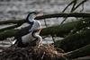Pied Shag with Chick (kelstar*) Tags: newzealand northisland phalacrocoraxvarius wellington zealandia zealandiawildlifesanctuary birds karuhiruhi piedcormorant piedshag shags