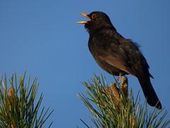 Blackbird (LouisaHocking) Tags: british bird beaufort hill ponds south wales nature wild wildlife singing countryside blackbird