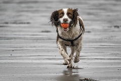 A Spaniel enjoying a run on the beach (cazalegg) Tags: ball play run spaniel