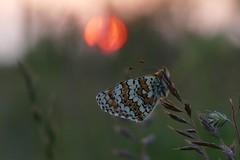 field fritillary butterfly (Lucinda3333) Tags: veldparelmoervlinder fritillarybutterfly melitaeacinxia tegenlicht backlight sunset nature natuur zonsondergang vlinder dmcfz1000 panasoniclumix