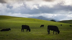 Cows in Pastor on a Stromy Day (CDay DaytimeStudios w/1,000,000 views) Tags: ca california cattle clouds eastbay fremontca hill hillside sanfranciscobayarea vargasplateau winter