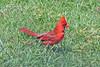 Cardinal_4H4A5720 (bud_marschner) Tags: cardinal inmansouthcarolina