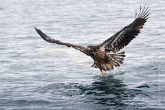Bald Eagle, immature (karenmelody) Tags: accipitridae accipitriformes alaska animal animals baldeagle bird birds haliaeetusleucocephalus kachemakbaynearhomer usa vertebrate vertebrates