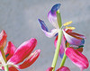 IMG_6512_Tulips blue (Julecu) Tags: tulips flowers floralart naturalbeauty naturephotography