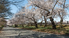 Central Park (Robert Wash) Tags: newyork ny newyorkcity nyc manhattan centralpark bridlepath cherryblossoms