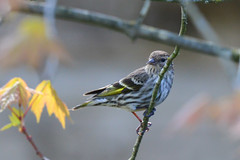 Pine Siskin (Art Clausing) Tags: portland oregon unitedstates us