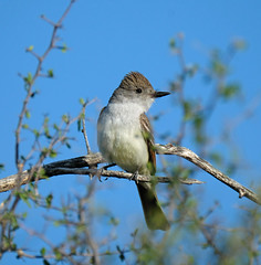 Ash-throated Flycatcher (Digital Plume Hunter) Tags: