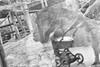 By Maxine (kceuppens) Tags: bymaxine doormaxine gorilla stroller buggy black white bw blackandwhite wit zwart zw nikon d50 nikond50 sigma 18200 zoovanantwerpen zoo antwerp antwerpen