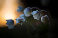 Großes Windröschen (draussenansichten) Tags: anemonesylvestris angiospermen anthophyta anthopyta bedecktsamer blütenpflanze blütenpflanzen dicotyledonae dikotyledonen groseswindröschen hahnenfusgewächse magnoliophytina pflanzen ranunculaceae samenpflanzen spermatophyta waldwindröschen zweikeimblättrige