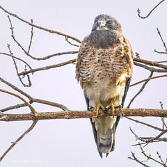Coopers Hawk (jackalope22) Tags: hawk cooper feathers stare beak