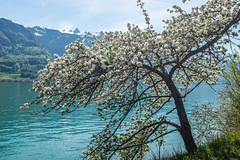 Walensee...... (barfi*) Tags: walensee switzerland cherryblossom
