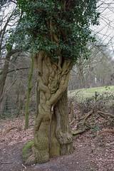 Hedera helix (Nelleke C) Tags: 2018 araliaceae bos flora hederahelix ivy klimop limburg loofbos nederland netherlands sintjansberg woodland