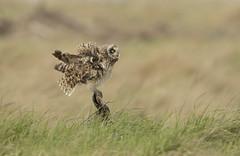 Short Eared Owl - Goodbye for now (Ann and Chris) Tags: shortearedowl bird raptor avian feathers nature wildlife wild gloucestershire canon7dmarkii