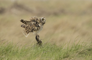 Short Eared Owl - Goodbye for now