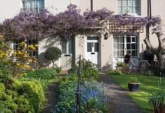 Wisteria's Out 25/30 (John Penberthy ARPS) Tags: garden d750 twickenham wisteria house pictureaday april 2530 flowersandplants nikon johnpenberthy