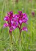 Les jumelles... (Régis B 31) Tags: fleur orchidée anacamptispapilionacea grandorchispapillon calmont midipyrénées occitanie