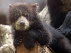 spectacled bear duisburg BB2A3032 (j.a.kok) Tags: beer bear brilbeer spectacledbear babybear bearbaby bearcub cub spectacledbearcub duisburg zoogdier dier animal mammal predator