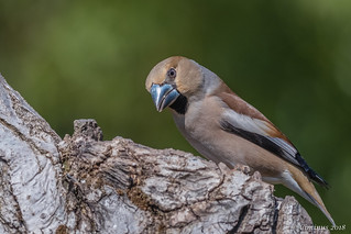 Coccothraustes coccothraustes (Frosone, Hawfinch).