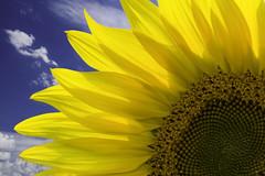 a golden moment (TAC.Photography) Tags: blueskies golden farming farm flower sunflowerseeds tomclarknet tacphotography 2017yip