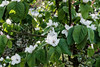 Quitten- und Apfelblüten 001_Web-compressed (berni.radke) Tags: quittenblüten quitte apfel apfelblüten kweepeer quince quinceblossom fleurdecoing kweepeerbloesem flordemembrillo apple appel manzana