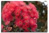 Flowering Gum (Bear Dale) Tags: red flowering gum ulladulla new south wales australia nikon d850 nikkor afs 70200mm f28e fl ed vr bear dale