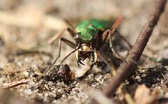 Groene Zandloopkever - Cicindela campestris - Green Tiger Beetle (merijnloeve) Tags: groene zandloopkever cicindela campestris green tiger beetle rozendaal veluwe kevers kever loopkever kaken teeth tanden heideterrein
