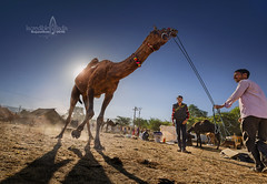 camel fair, rajasthan (Albert Photo) Tags: camelfair rajasthan india asia nomadic sky animal people boy man herdsman camel shepherd pastor pastoral