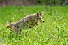Coyote #98 (lennycarl08) Tags: coyote animal animalplanet contracostacounty alhambravalley wildlife northerncalifornia california eastbay
