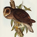 Strix tenebricosus, Gould (Sooty Owl) Illustrated by Elizabeth Gould (1804–1841) for John Gould's (1804-1881) Birds of Australia (1972 Edition, 8 volumes). One of the most celebrated publications on Ornithology worldwide, Birds of Australia introduced mor