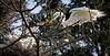 Great Egret- Face to Face 05.08.18 (Lee J2) Tags: greategrets ardeaalba kiwanislake pensylvania york