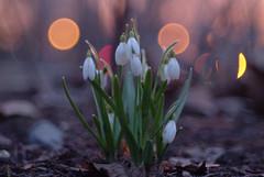 Crépuscule (Patrice StG) Tags: gimp pentax kp pentaxart crépuscule twilight spring printemps bokeh cosinon55mmf21 flower fleur blanc white