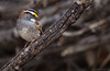 White-throated Sparrow (Zonotrichia albicollis) (Wildlife, Landscape & Cultural) Tags: whitethroated sparrow zonotrichia albicollis whitethroatedsparrow zonotrichiaalbicollis
