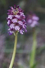 Orchis_purpurea-0008 (Toni Lluch) Tags: sonya7ii pentaxmmacro100mmf4 flower orquidea